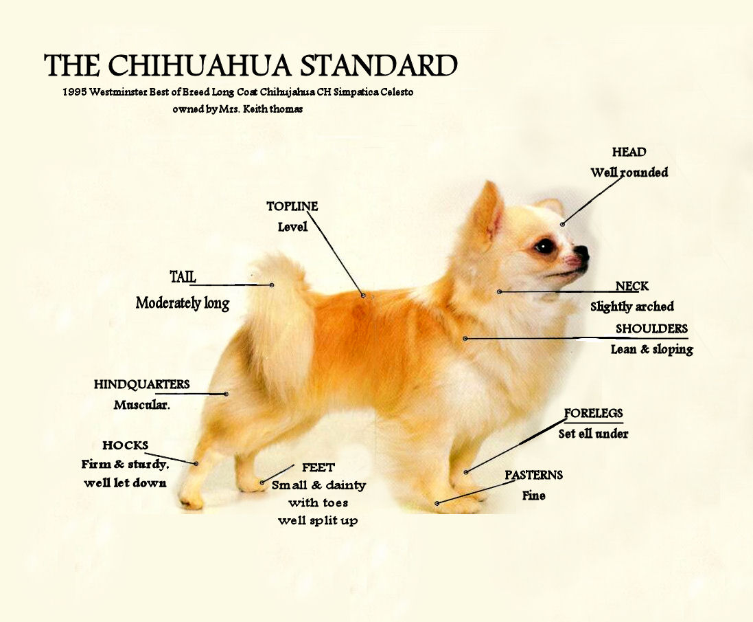 Akc Chihuahuas Arizona | Dog Breeds Picture